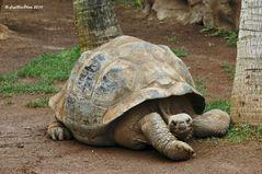 Riesenschildkröte im Loro´Parque Puerto de la Cruz