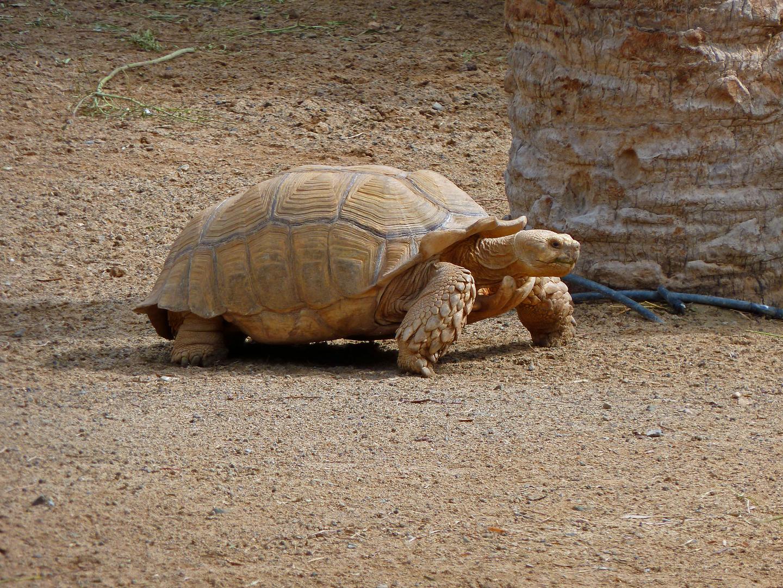 Riesenschildkröte im Oasis Park