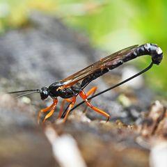 Riesenschlupfwespe (Dolichomitus imperator)