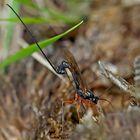 Riesenschlupfwespe (Dolichomitus imperator) - L'ichneumon en travail...