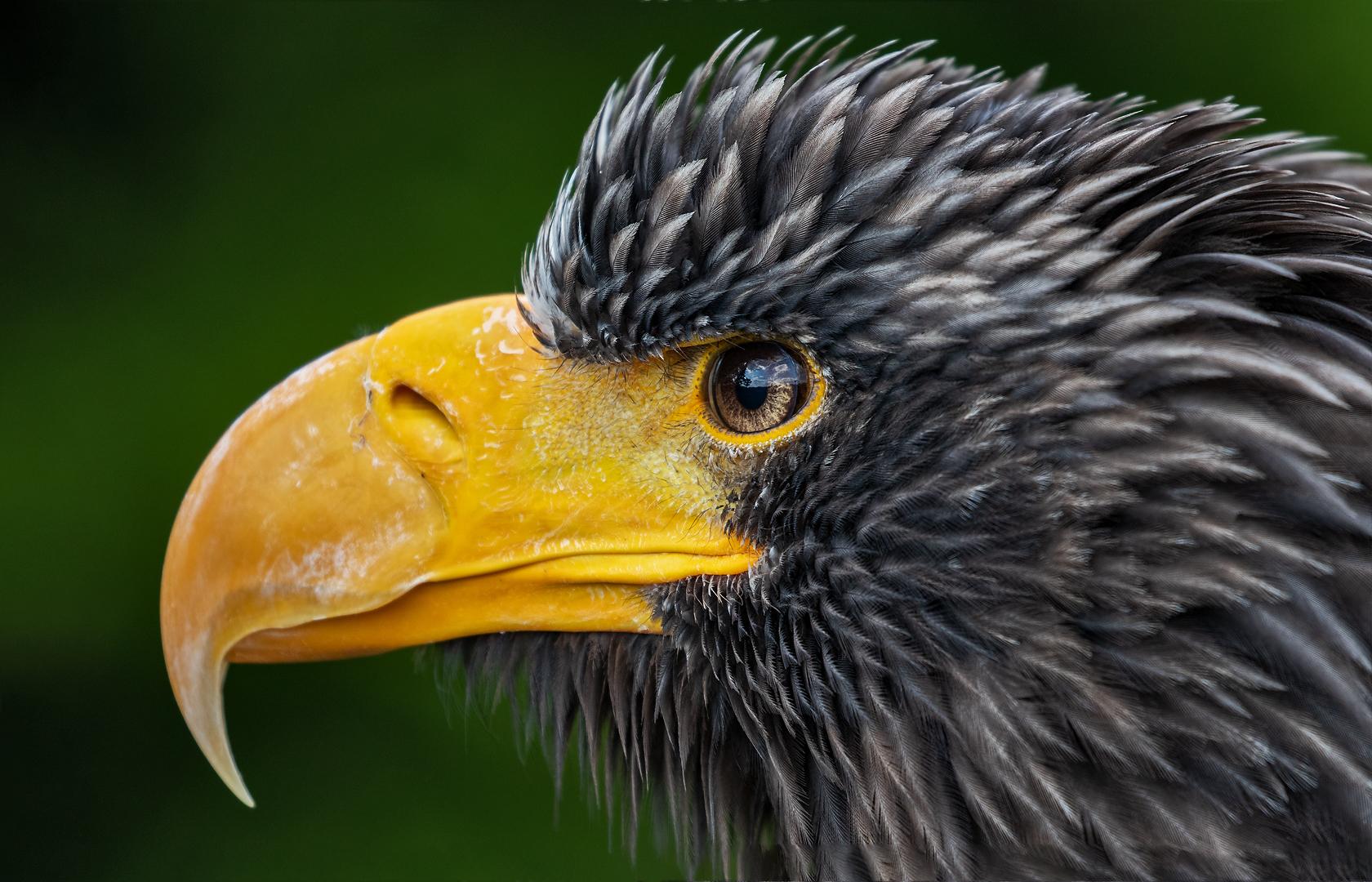 Riesenseeadler-Portrait 001