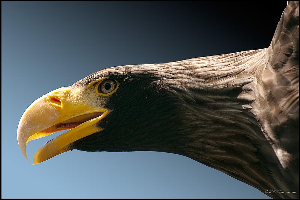 Riesenseeadler, Spannweite bis zu 280cm