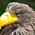 Riesenseeadler, Steller's sea eagle, Pigargo gigante,  (Haliaeetus pelagicus)
