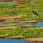 Riesenseerosen-Teich