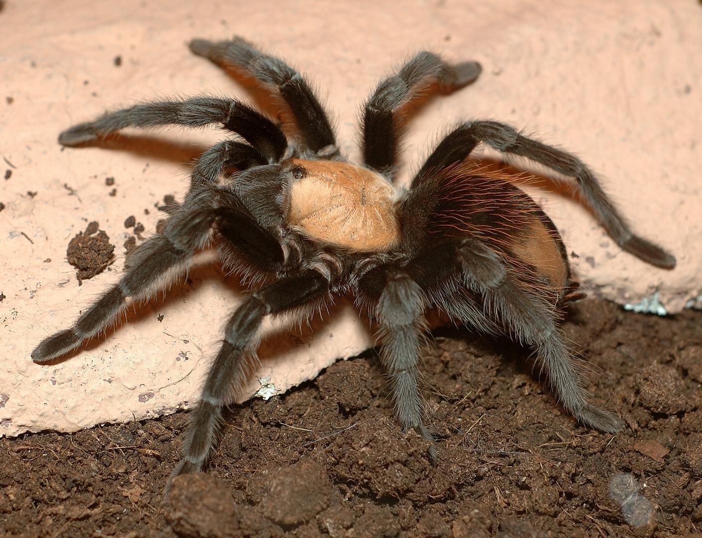 Riesen Spinne