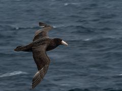 Riesensturmvogel     DSC_0337-2