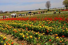 Riesige Tulpenfelder bei Grevenbroich