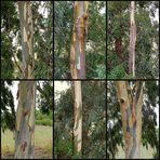 Rinde der Eukalyptusbäume / La corteccia degli Eucalipti