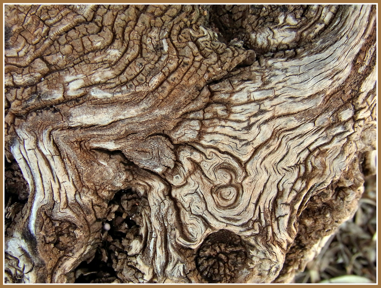 Rinde eines uralten Olivenbaumes