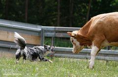 Rinder-Schubsen IV
