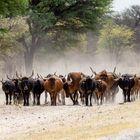 Rinderherde im Caprivi