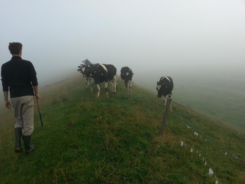 Rinderherde im Morgentau