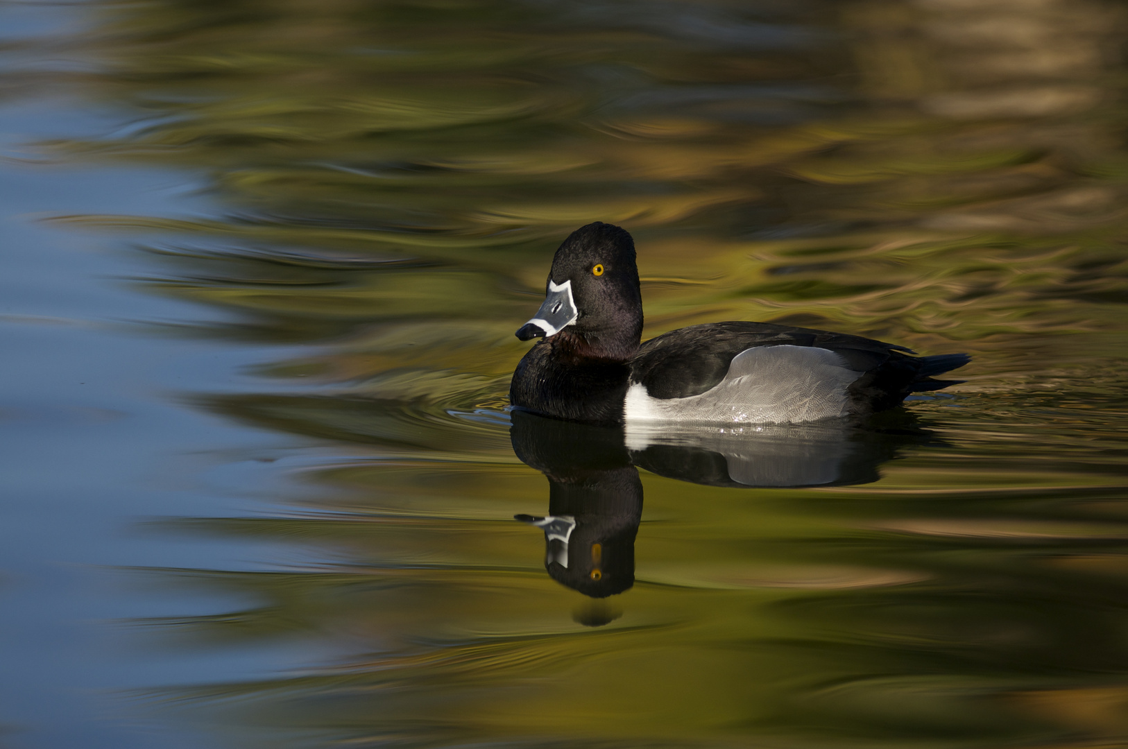 Ring-necked duck reflection.