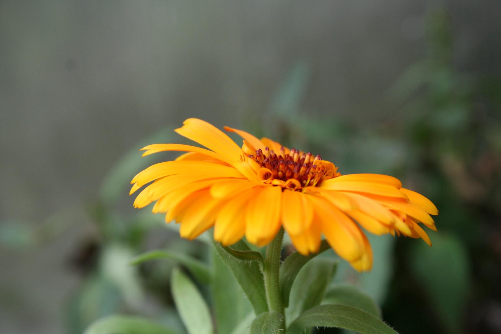 Ringelblümchen