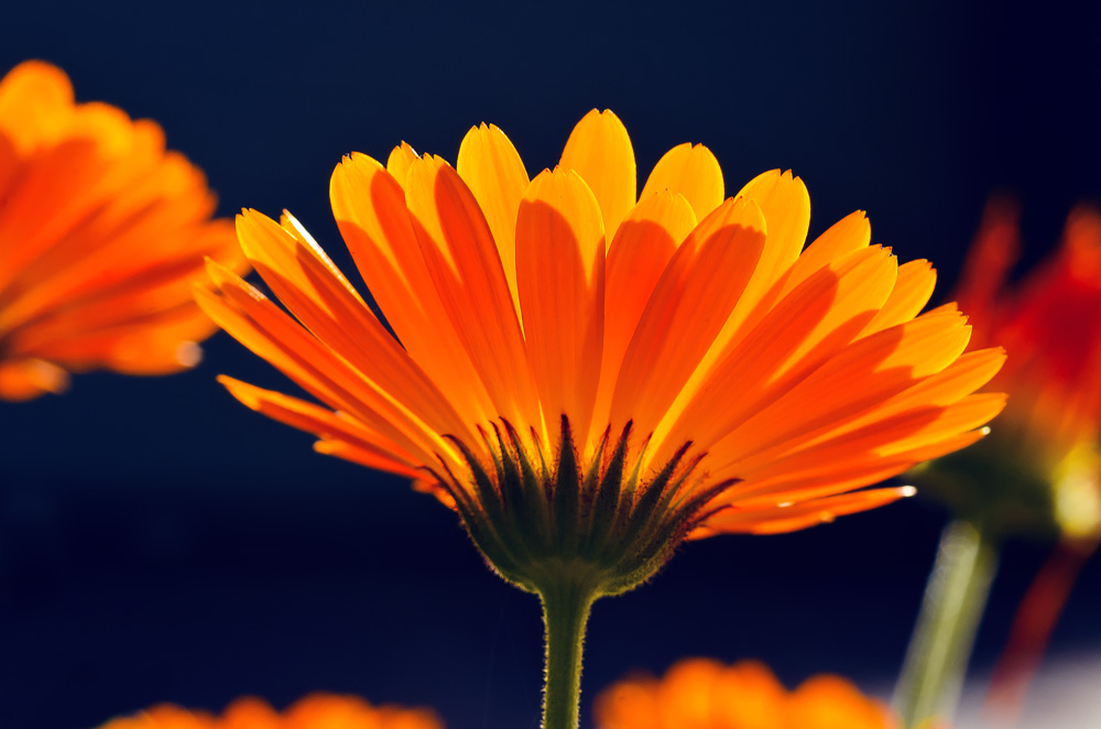 Ringelblümchen im Herbstlicht