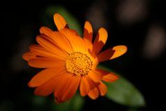 Ringelblume im Herbst