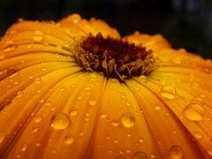 Ringelblume im Regen