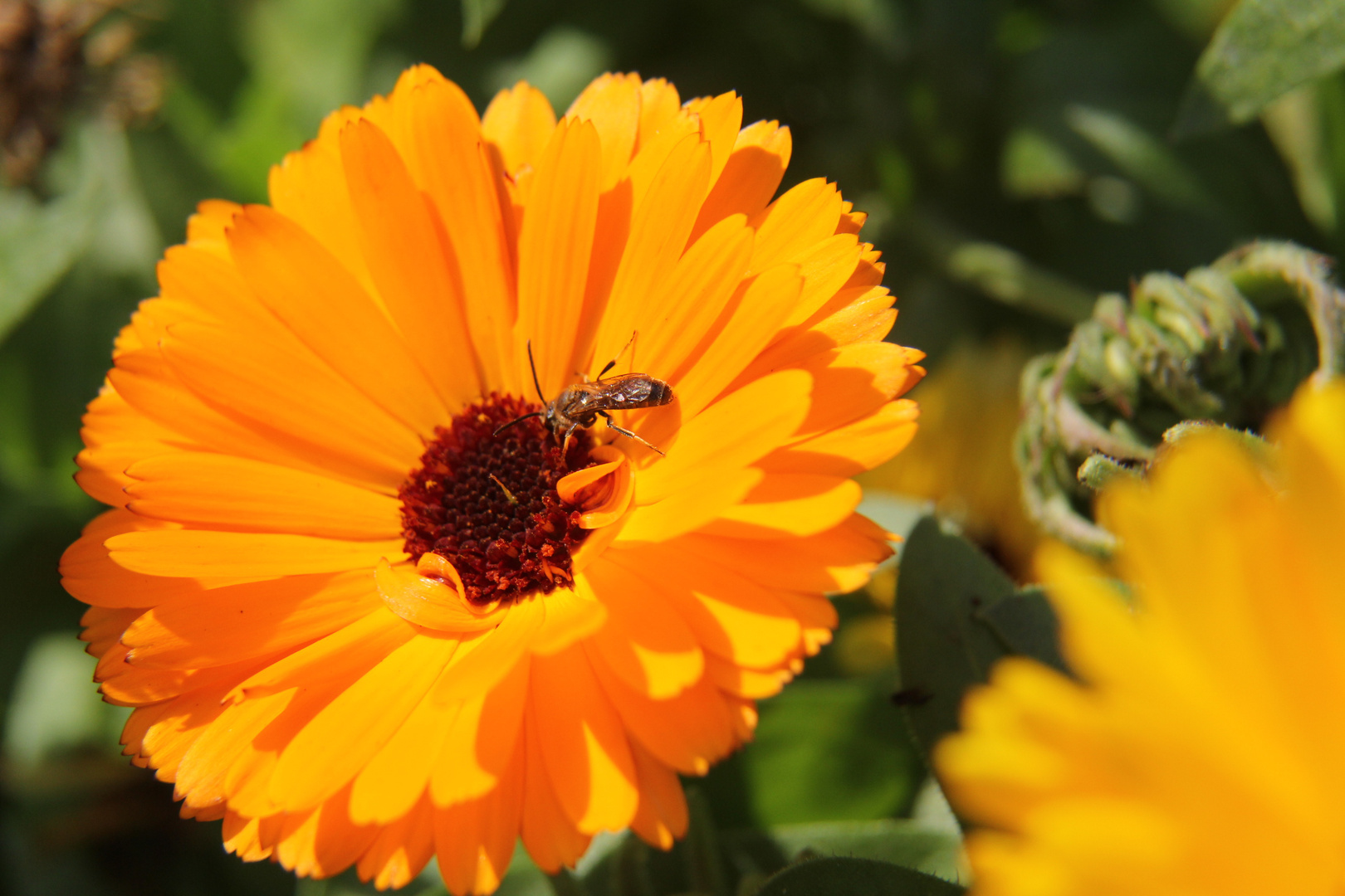 Ringelblume mit Besucher