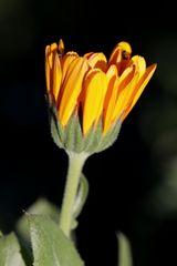 Ringelblume mit Käfer