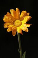 Ringelblume nach dem Regen