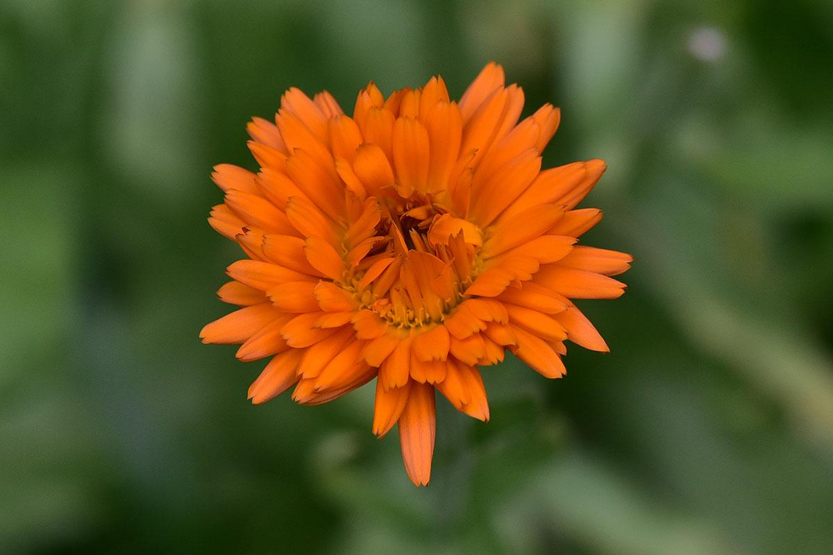Ringelblume orange