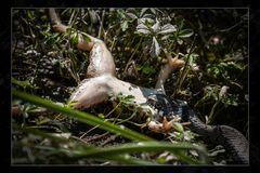Ringelnatter beißt Frosch, Frosch beißt ins Gras I