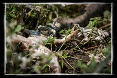 Ringelnatter beißt Frosch, Frosch beißt ins Gras II