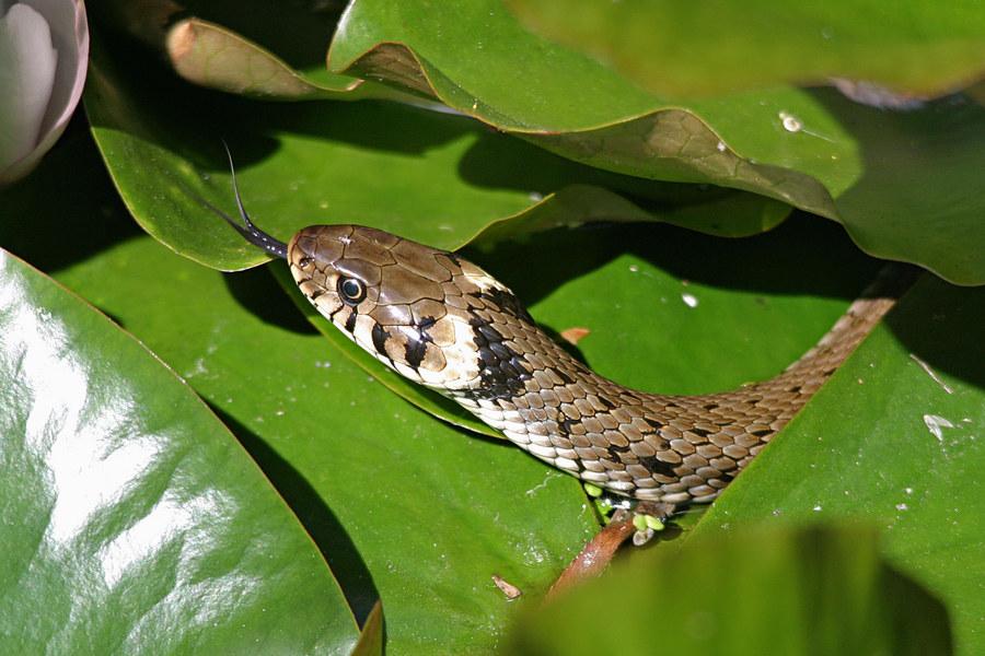 ringelnatter im gartenteich foto bild tiere wildlife amphibien reptilien bilder auf. Black Bedroom Furniture Sets. Home Design Ideas