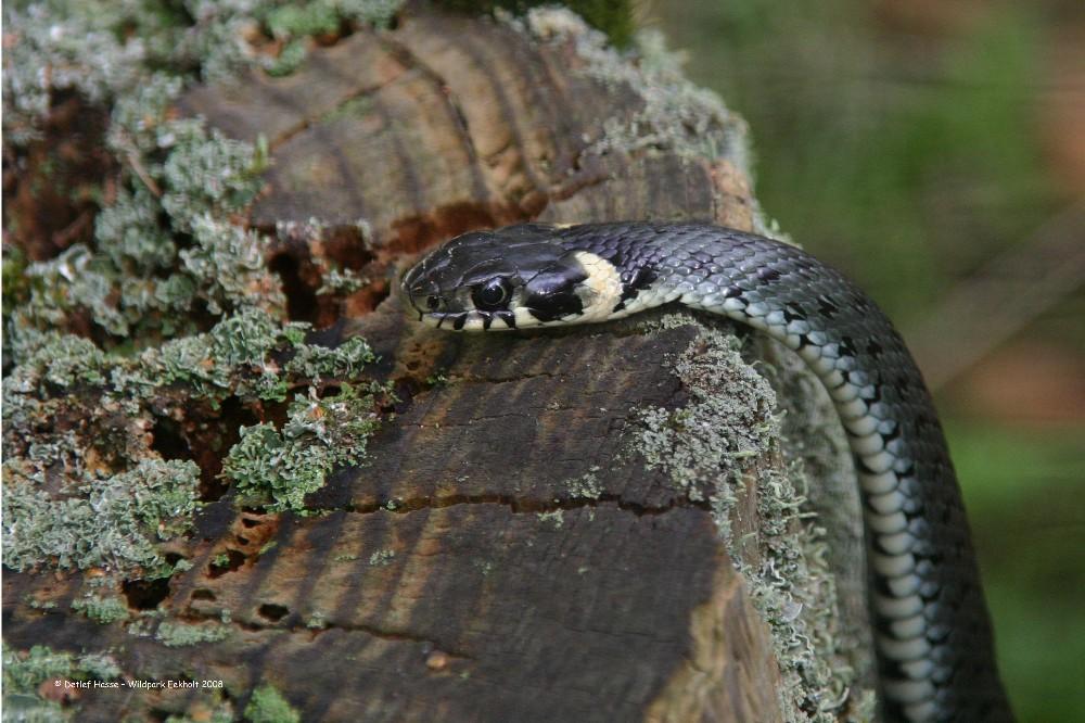 Ringelnatter im Wildpark Eekholt auf Baumstumpf
