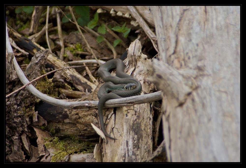Ringelnatter (Natrix natrix wilhelmina)