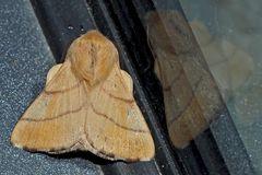Ringelspinner: Malacosoma neustria, Männchen. - Livrée des arbres, Bombyx à livrée, mâle.
