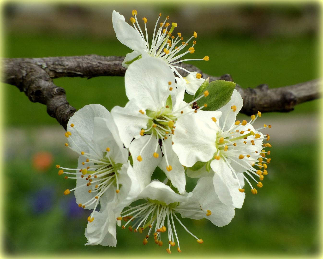 Ringlottenblüte