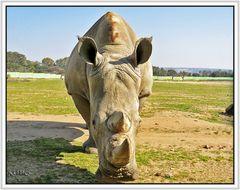 Rinoceronte a un metro. Safari Park Madrid 2014-III-15.
