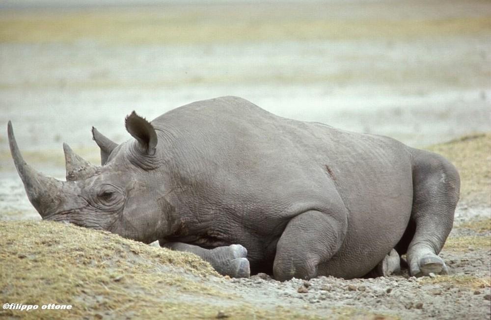 Rinoceronte che dorme