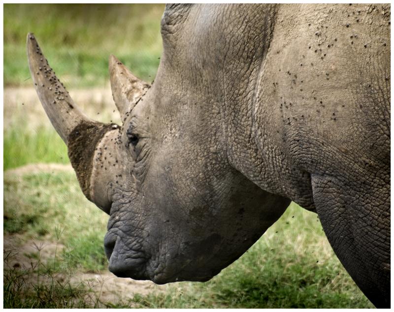 Rinoceronte (Kenya)