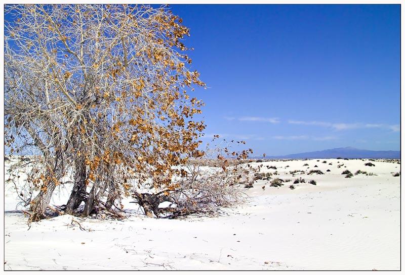 Rio Grande Cottonwood ...