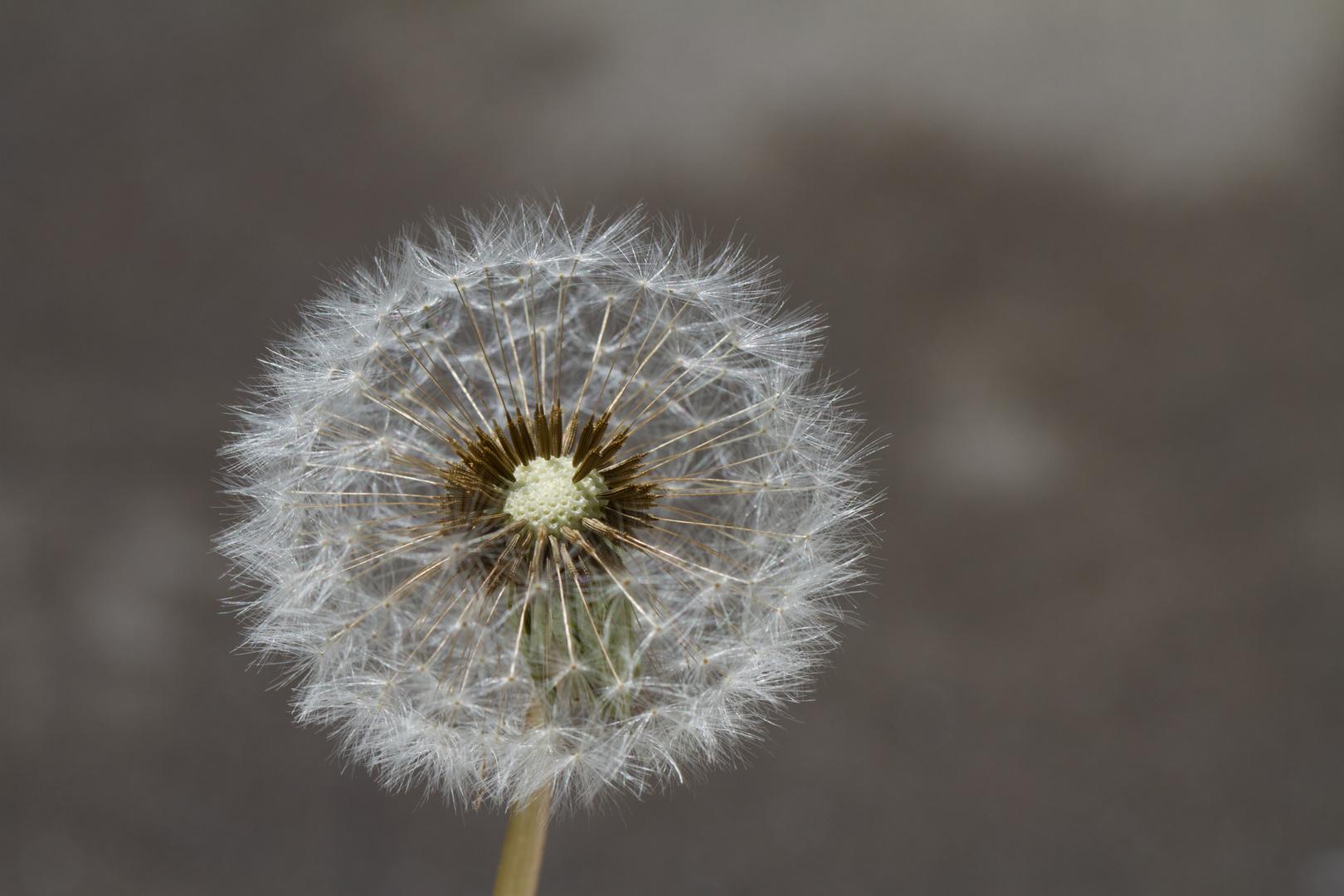 Ripe fruits of a dandelion - Pusteblume