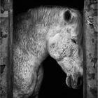 ritratto di cavallo