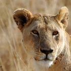 Ritratto di leonessa (Tanzania)