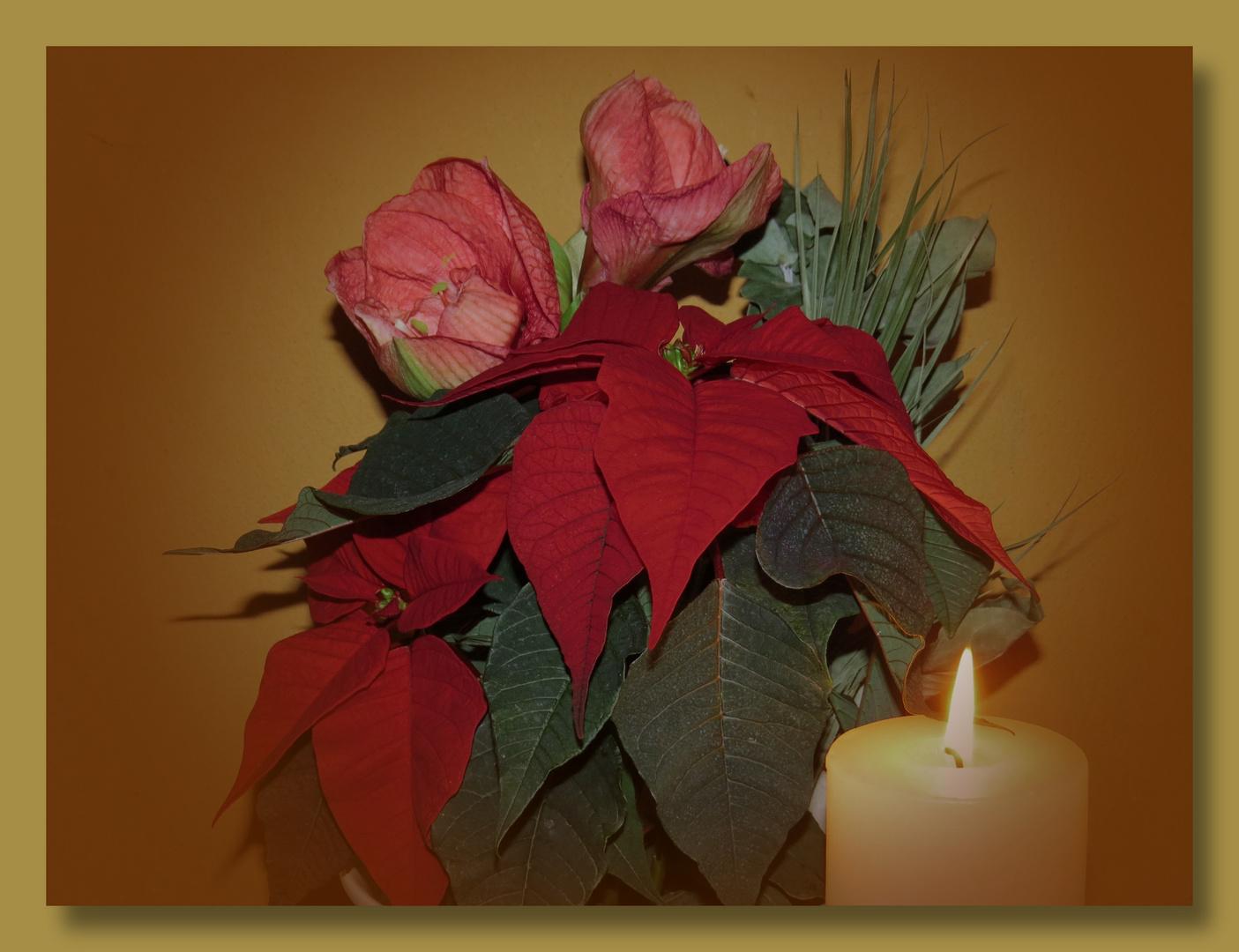 Ritter (Amarylli),-und Weihnachtsstern