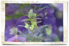 Rittersporn auf Kaiserlilie