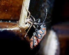 Ritterwanze saugt Spinne aus