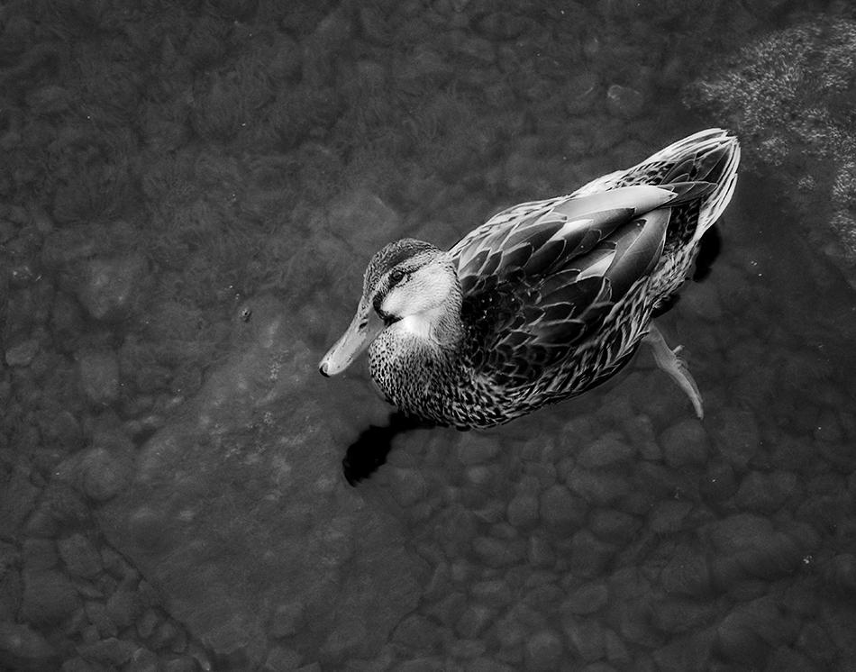 River duck swim
