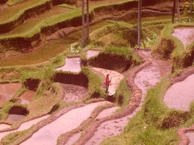 rizières en terrasse à bali