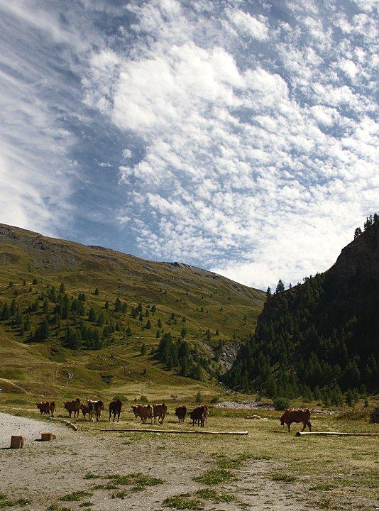 Roaming cows