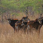 Roan Antilopen sichern in den Wind