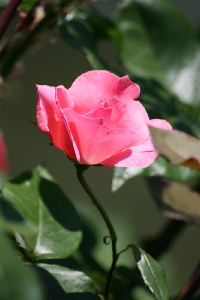 Roas Rose