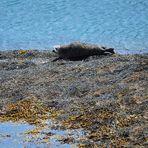 Robbe beim Sonnenbad