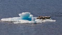 Robben auf Treibeis