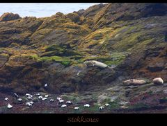 Robben in Stokksnes